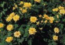 How to Grow Bright-Colored Yellow Roses