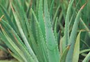 How to Replant Agave