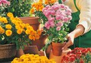 Can I Plant My Potted Mums Outside?
