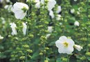 How to Grow a Hollyhock Tree