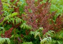When to Prune Tiger Eyes Staghorn Sumac?