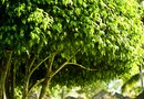 How to Care for Ficus Benjamina Outdoors