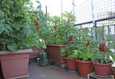 Four Top Tips to Grow Tomatoes in Containers and Pots