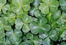 How to Propagate Clover