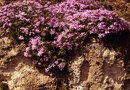 Can We Prune Carpet Phlox in the Winter?