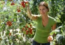 Should You Pinch Back Tomato Plants?