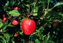 Fruit Trees That Require No Pollination