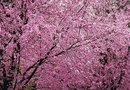 Tree With Bright Purple Flowers & Fuzzy Leaves