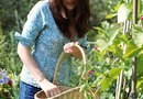 How to Grow Kentucky Wonder Pole Beans