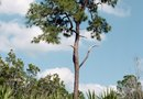 How to Trim a Sabal Palmetto
