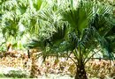 Will Roundup Kill Palm Trees?