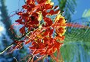 Caring for a Pride of Barbados Plant
