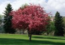 What Kind of Trees Are Pink in Spring & Have Small Fruit?