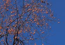 The Height of Persimmon Trees