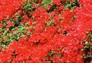 Red Azalea Shrub Facts