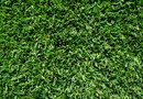 How to Water Zoysia Sod