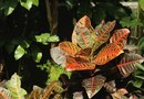 How to Care for a Croton With the Leaves Falling Off