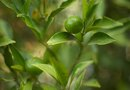 Where to Plant a Lime Tree