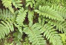 How to Plant Ferns Outdoors