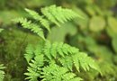 How to Grow Ferns From Rhizomes