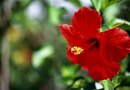 How to Care for a Star Hibiscus