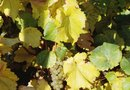 Will Roundup Kill Grape Vines?