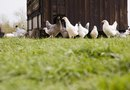 Health Risks of Chicken Manure