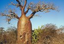 Does a Baobab Bear Fruit?