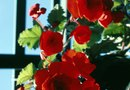 How to Maintain Rieger Begonia Flowers