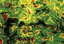 Problems With Coleus Plants
