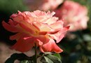 When Is the Best Time to Spray Roses?