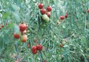 """When Tomato Plants Stop Bearing Fruit, Can They Be Cut Back?"""