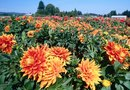 How to Hand Pollinate Dahlias