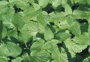 The Best Places to Plant Mint