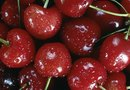 How Soon Does a Black Cherry Prunus Serotina Tree Make Cherries?