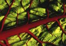 How to Control Leaf Miner on Chard
