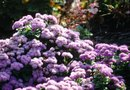 How to Care for a Hawaiian Blue Ageratum