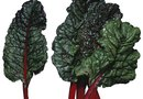 What Type of Bugs Eat a Swiss Chard Plant?
