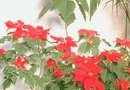 How to Get Rid of Aphids on Poinsettias