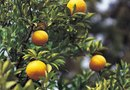 The Difference Between Dwarf & Regular Citrus Trees