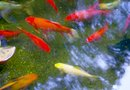 Ideas for Covering a Koi Pond From Leaves