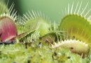 What Color Is a Venus Flytrap Pod?