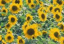How to Fertilize Sunflowers