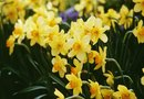 How to Move Narcissus Bulbs From Inside to Outside