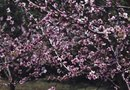 How to Prune a Flowering Peach Tree
