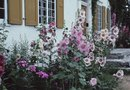 How to Trim Hollyhocks