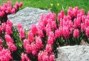 Can I Plant a Potted Hyacinth?