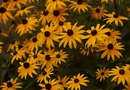Where Are Seeds Located on the Black Eyed Susan Plant?