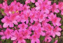 How to Start an Azalea Plant From a Cutting