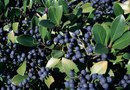 How to Plant Blueberry Shrubs